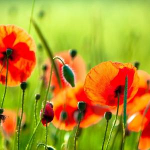 Growing Poppies In Pots | Care & How To Grow Poppies In Containers