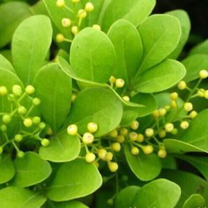 【绿手指小贴士】  夏季正是一些常绿花卉扦插的最好时期, 如米兰、茉莉、杜鹃、扶桑等花卉在这个时期扦插很容易成活。  对于梅花、碧桃等花卉, 夏季是它们芽接的好时候, 对于白兰是它靠接的好时机。  夏季也是一些盆花播种的最佳时期, 比如三色堇在7月播种, 国庆节前后就可以开花。  瓜叶菊在7~8月播种,可以在严冬少花季节开放。大岩桐、香石竹在8~9月播种,第二年夏季可以开花。  冬季观赏的花卉,比如报春花、朱顶红、天竺葵等,要在6~7月播种。  秋海棠、杜鹃、山茶、米兰、栀子、金银花以及一些热带观叶类花卉,在6~7月份扦插。  像马蹄莲、杜鹃等花卉在夏季可以分株繁殖。  像月季、金橘、山茶以及一些仙人掌类花卉可以在夏季嫁接。  对于像梅花、杜鹃、桂花、茉莉等花卉可以在6~7月份进行压条。
