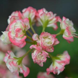 ゼラニウム|花言葉・由来・意味