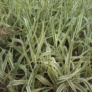 花叶燕麦草图片