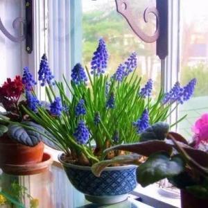 花朵长得像一串串葡萄的球根盆栽,种在窗台上让人着迷
