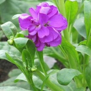 紫罗兰的花语和作用