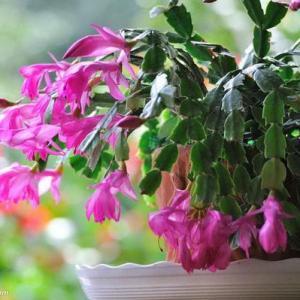 家庭栽种蟹抓兰开花时的养护技巧