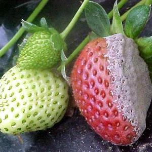Gray Mold of Strawberry
