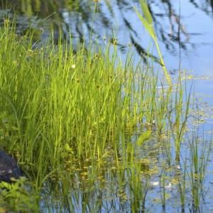 Bulrush Plant Facts: Learn About Bulrush Control In Ponds