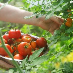 How to Grow Short & Bushy Tomatoes