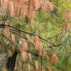 Pine Wilt (Pinewood Nematode) of Needled Evergreens