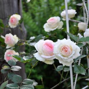 春季藤月嫩芽扦插大法(图解)