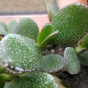 How to Get Rid Of White Spots on a Jade Plant