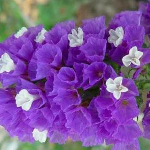 スターチス(リモニウム)|花言葉・由来・意味