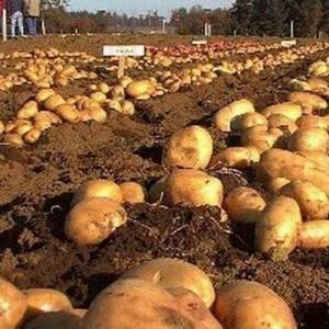 Plagas, enfermedades y fisiopatías en cultivo de patatas