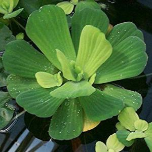Care Of Water Lettuce: Info And Uses For Water Lettuce In Ponds