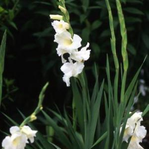 グラジオラス(夏咲き)の育て方・栽培方法
