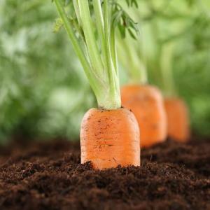 Plagas, enfermedades y fisiopatías en cultivo de zanahorias