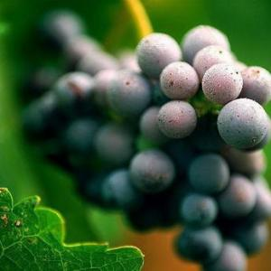 How to Grow Grapes from Seed
