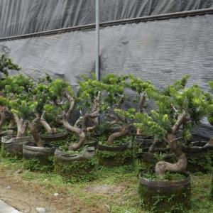 罗汉松盆景图片