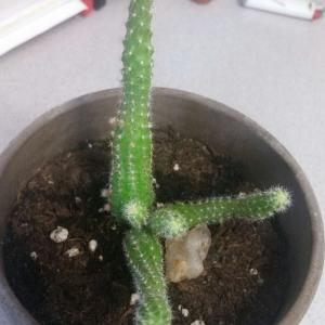 what are these red bulbs forming on my cactus? and is it normal for the babies to grow right behind the parent plant?
