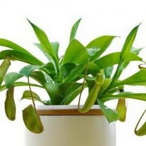 养殖风水植物的好处
