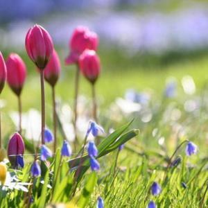 Red tulip—Mito enjoy