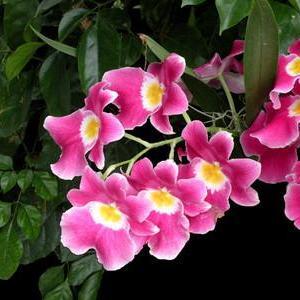 堇花兰图片