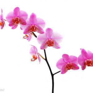 兰花缺乏某种营养,在其植株上会有所表现。根据这一表现即可诊断其营养缺乏症,并采取相应的措施予以矫治。      ①缺氮。表现为新叶比老叶短狭而质薄,叶色淡黄,缺乏光泽。可用硫酸钾复合肥或硝酸钾复合肥500倍液浇根,用0.2%尿素溶液于傍晚喷施叶面叶背。每隔三五天一次,连喷3次,便可纠正。  ②缺磷。表现为叶芽生长缓慢,迟迟不发根,叶缘微反卷。可用2%的过磷酸钙浸出液,或3%~5%的骨粉溶液,或800倍液的磷酸二氢钾浇根,每10天一次,连浇2次;并用600倍液磷酸二氢钾,或1000倍液花宝3号,于傍晚喷施叶面叶背,每隔三五天一次,连喷3次便可纠正。  ③缺镁。表现为老叶发黄;中年叶的叶尖和叶缘呈黄色,且向叶面卷曲(俗称铜锣缘)。可用0.5%硫酸镁溶液于傍晚喷叶,每隔三五天喷一次,连喷三五次,即可纠正。  ④缺钾。表现为叶缘和叶尖发黄(先老叶后新叶),进而转为?色;叶主侧脉偏细;叶质柔软,易弯垂;若遇强光和低温,新叶就出现微脱水状。可先用0.5%的硫酸钾溶液浇根、喷叶,也可撤施草木灰。  ⑤缺锰。表现为虽有适当遮荫,还出现日灼样斑纹,斑中又有斑花蕾不发育;叶片干瘪,失绿,少光泽。中性、石灰性和沙质土,较易出现缺锰症状。选用0.3%硫酸锰溶液喷施叶片3次,便可纠正。  ⑥缺钙。表现为叶尖呈钩形(品种特征的除外)。常见于偏酸性肥料的植株。可用1.0%石灰溶液浇根一次,也可选用畜用钙粉3%溶液浇施一次,便可纠正。  ⑦缺铁。表现为幼叶的叶肉变黄至变白,中部叶脉和叶缘及叶尖,呈现焦褐斑坏死。可用0.5%硫酸亚铁溶液喷施于叶片,3天一次,连喷两三次,便可纠正。  ⑧缺锌。表现为底部叶片中段呈现纯锈样斑,并逐渐向叶两端扩展;新株的叶柄环,明显比老叶的叶柄环低。可用0.1%硫酸锌溶液喷施叶片,每隔三五天一次,连喷3次,便可纠正。  ⑨缺铜。表现为叶尖失绿,逐渐转现为灰白色,并向全叶扩展,生长停滞。可用0.2%硫酸铜溶液喷施,每隔7天一次,连喷2次,便可纠正。  ⑩缺硼。表现为幼叶基部受伤,叶柄环处极脆易断,莛花朵数明显减少,花蕾绽放慢,开而无神,花开后花耐久期明显缩短。可用0.3%硼砂或硼酸溶液喷施,每周一次,连喷3次,便可纠正。  ⑩缺钼。表现为在不施用矮壮素的情况下,新株也会明显矮化;老叶失绿,以致枯黄、萎蔫至坏死。可用0.1%钼酸铵溶液喷施,3天一次,连喷3次,便可纠正。  如能依兰株所缺补肥,使侏体的营养元素相对平衡,便能使株体各个器官的功能充分发挥作用,运用协调,这对于提高产量和质量都有很好的作用。