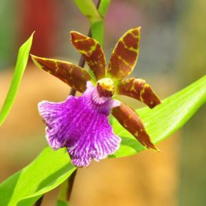 紫香兰图片