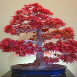 枫树盆景图片