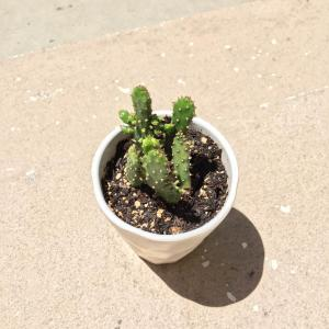 Hi does anyone know what type of cactus this is?? Any help is appreciated! (:  #cactus   #succulent