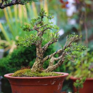 珍珠黄杨盆景图片