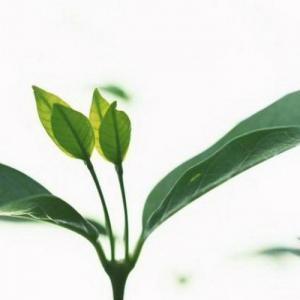 Introducción, usos industriales, usos medicinales, dónde se localizan los taninos.