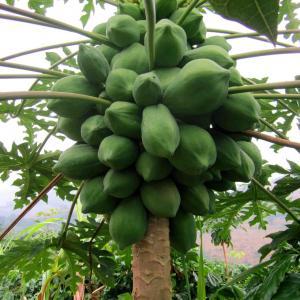 How to Grow Papaya | Growing Papaya Tree and Care