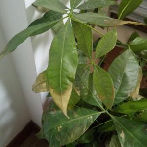这个发财树叶子都黄了,是什么原因啊?