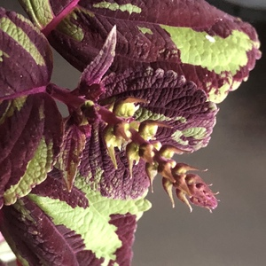 Coleus (Painted Nettle)