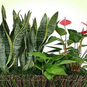 Pachira Aquatica Care   Growing Money Tree as Houseplant