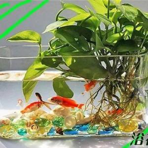 不少网友都希望在鱼缸里养点植物点缀一下,而 #绿萝  又可以水养,所以就有花友问我,绿萝可以养在鱼缸里吗?可以养,但是要适量。   先跟花友说,绿萝水养是完全可以的,所以把绿萝养在鱼缸里,绿萝活着并且正常生长是没有问题的,而我们主要应该关注的是鱼是否可以活着。  绿萝可以养在鱼缸里吗,这个问题的重点是鱼缸,如果是如上图中的大鱼缸,那么随便养,如果是是那种小小的鱼缸,并且是静态水,可以只剪一个绿萝枝条插在鱼缸里,作为装饰,如果是想把绿萝种满鱼缸,那么结果九成就是绿萝活了,但是鱼死了(下图中的比例,绿萝就多了,鱼虽然暂时很好,但是如果水里含氧量降低后,状态就不好了,植物的根系也会呼吸的)。   前段时间写了一篇《水培植物里养鱼》有兴趣的花友可以看看,其实两者道理是一样的,这也就解释了为什么绿萝放鱼缸里后鱼死了,不是绿萝有毒,而是导致水缺氧了。