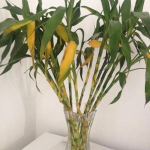 相信很多花友都想知道水养富贵竹叶子发黄怎么办,其实我们应该先了解富贵竹,而后再根据自己的实际情况来查找叶子发黄的原因从而找到解决方法。   花瓶里插上几根富贵竹是很多花友的选择,但是后期的养护效果和我们选择富贵竹枝条的第一步就有关系,我们一定要选择颜色鲜亮,杆子新鲜的枝条。  另外花友要知道一个事实,就是富贵竹和其他植物一样,养久了底部的叶子会自然枯黄,也就是说,富贵竹不会像刚买来一样,叶子丰满,而大多数情况是随着养的时间越久,富贵竹叶子会越来越稀,越来越小,之所以会这样是因为环境和营养跟不上。  下面我们再看看水养富贵竹叶子发黄怎么办,最后我们再说说水养富贵竹的基本流程。  已经发黄的富贵竹叶子我们就及早剪掉就可以了,已经黄了的不会返绿的,留着也没用。  富贵竹叶子发黄的原因有多种,比如缺铁会黄,空气干燥叶面缺水会黄,瓶里水多会黄,瓶里水少也会黄,水中生了细菌也会黄,叶子过于拥挤空气不流通也会黄。  一般来说我们水养富贵竹流程是这样的,先保证吧富贵竹放在具有明亮散光的通风良好的环境下养护。  1、我们买回来的富贵竹枝条,将底部的老叶子适当清理,单根富贵竹叶子不用留太多,留太多慢慢也会黄。  2、将富贵竹底部斜切45℃,就可以放入花瓶了养了。  3、花瓶里的水千万不要多,有花友把花瓶里的水放的满满的,这是不对的,一般来说水位高于根部3-5厘米就可以了。  4、没生根之前最好不要频繁晃动,放着就老老实实让它在那,水不脏不用换水,或者换水不用很勤。等生根了,就不用换水了,水少了加水就可以了,记得水依旧不要多。  5、铁钉要等生根后再放,不要没生根就放。  6、富贵竹是热带和亚热带植物,如果在大棚里肯定长得极好,所以我们一定要尽量保证温暖,湿润的环境,不然富贵竹虽然不能死,但是状态不佳。  最后说一说就是富贵竹虽然可以养很长时间,但是如果一直想追去卖相好,建议每隔一年半载的更换一次,不然富贵竹的形态越往后越难看。