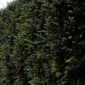 スギ(杉)の特徴と種類