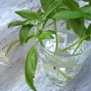 Herbs That Root In Water – How To Grow Herb Plants In Water