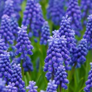 漂亮的紫色葡萄风信子图片