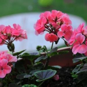 夏季如何给天竺葵浇水