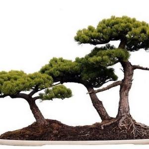 适合做盆景的观赏植物都有哪些?