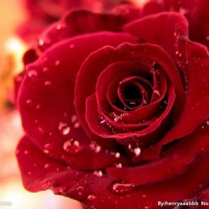 玫瑰花如何延长保鲜,让爱更永久