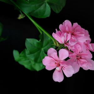 天竺葵夏季怎样养护