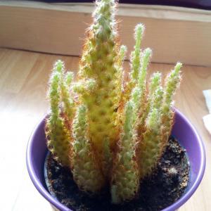 ¿Qué especie de cactus es?