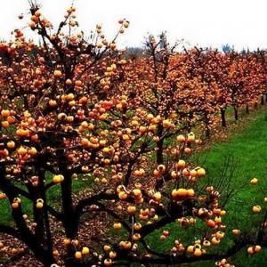 Caqui: el árbol de las bayas naranjas