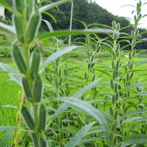 What Are Benne Seeds: Learn About Benne Seeds For Planting