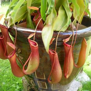 Nepenthes Pitcher Plants: Treating A Pitcher Plant With Red Leaves