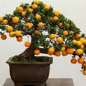柏树类、花果类、丛林式盆景在修剪时要注意以下事项