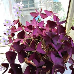 紫叶三叶草图片