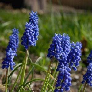 葡萄风信子蓝穗图片